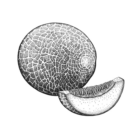 Cantaloupe. Realistic vector illustration plant. Melon fruit isolated on white background. Hand drawing. Decoration for the menu and kitchen design. Vintage black and white engraving. Vegetarian food