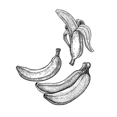 Banana. Realistic vector illustration plant. Plantain fruit isolated on white background. Hand drawing. Decoration for the menu and kitchen design. Vintage black and white engraving. Vegetarian food