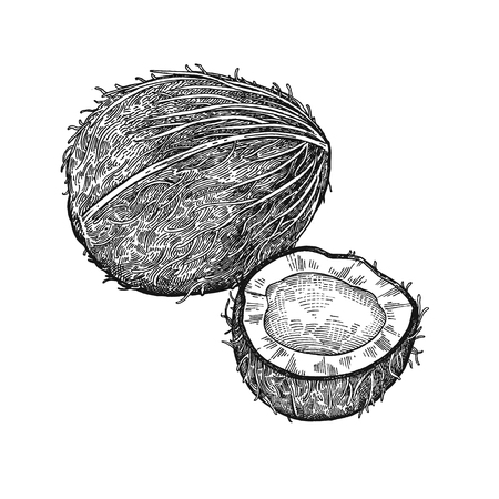 Coconut. Realistic vector illustration of plant. Nuts isolated on white background. Hand drawing. Decoration for the menu and kitchen design. Vintage black and white engraving. Vegetarian food. Illustration