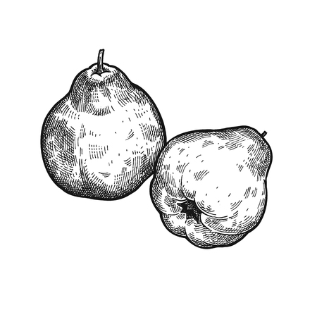 Apple quince. Realistic vector illustration of plant. Fruit isolated on white background. Hand drawing. Decoration for the menu and kitchen design. Vintage black white engraving. Vegetarian food. Ilustração