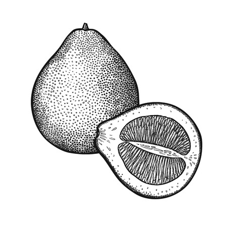 Pomelo. Realistic vector illustration plant. Grape fruit isolated on white background. Hand drawing citrus. Decoration for the menu and kitchen design. Vintage black and white. Vegetarian food.