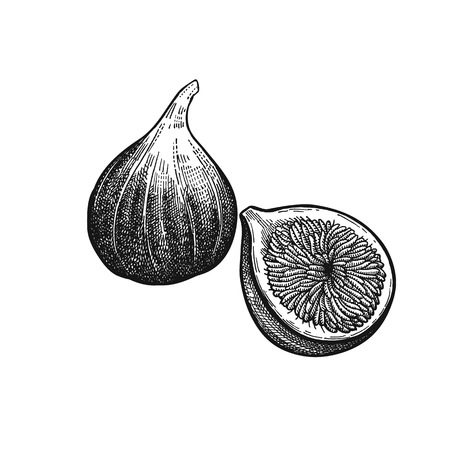 Figs. Realistic vector illustration of plant. Fruit of fig tree isolated on white background.  Vintage black and white hand drawing. Decoration for the menu and kitchen design. Vegetarian food.