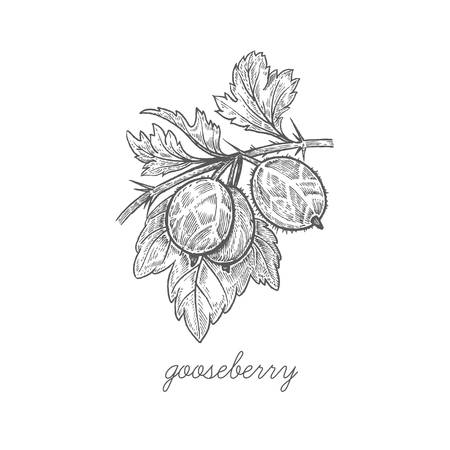 Gooseberry. Vector plant isolated on white background. The concept of graphic image fruits, berries. Design for package of health and beauty natural products. Style Vintage engraving. Black and white.