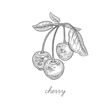 Cherry. Vector plant isolated on white background. The concept of graphic image fruits, berries. Design for package of health and beauty natural products. Style Vintage engraving. Black and white.