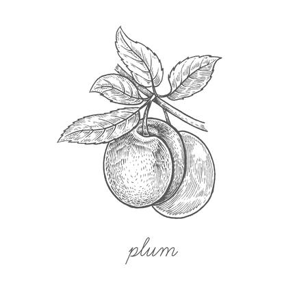 Pflaume. Vektoranlage lokalisiert auf weißem Hintergrund. Das Konzept der grafischen Bildfrüchte, Beeren. Design für ein Paket von Naturprodukten für Gesundheit und Schönheit. Stil Vintage-Gravur. Schwarz und weiß.
