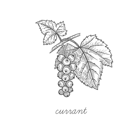 Currant. Vector plant isolated on white background. The concept of graphic image fruits, berries. Design for package of health and beauty natural products. Style Vintage engraving. Black and white.