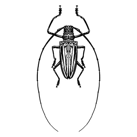 Black and white sketch. Insect beetle isolated on white background. Realistic drawing bug. Vector illustration. Çizim