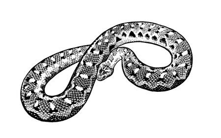 Serpiente aislada. Ilustración de vector de reptil blanco y negro. Dibujo realista a mano. Vintage grabado de vida silvestre. Ilustración de vector