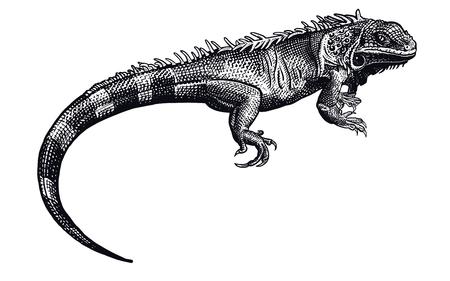 Iguana jaszczurka na białym tle. Czarno-biały gad. Ilustracja wektorowa. Realistyczny rysunek dłoni. Vintage grawerowanie dzikiej przyrody.