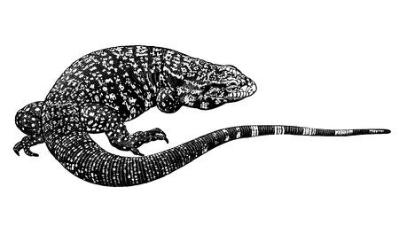 Lézard isolé. Reptile noir et blanc. Illustration vectorielle. Dessin à la main réaliste. Gravure vintage de la faune.