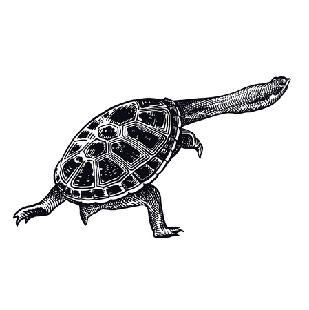 Amazonian river turtle isolated. Black and white reptile vector illustration. Hand drawing realistic sketch. Vintage engraving of Wildlife. Animal of underwater world.