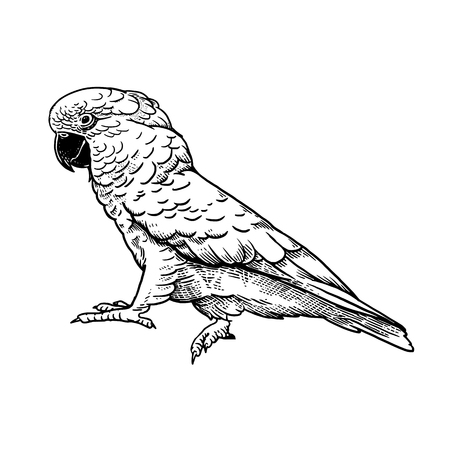 Parrot bird isolated on white background. Tropical animal Cockatoo. Wildlife image. White and black. Vintage engravings. Realistic sketch. Vector illustration. Rainforest fauna.