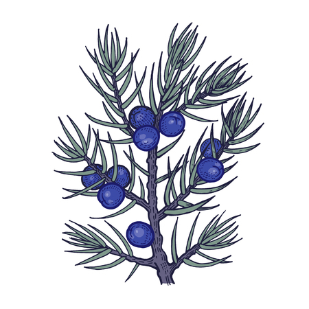 Tree branch with juniper berries. Color Vector illustration isolated on white background. Vintage engraving style. Illusztráció