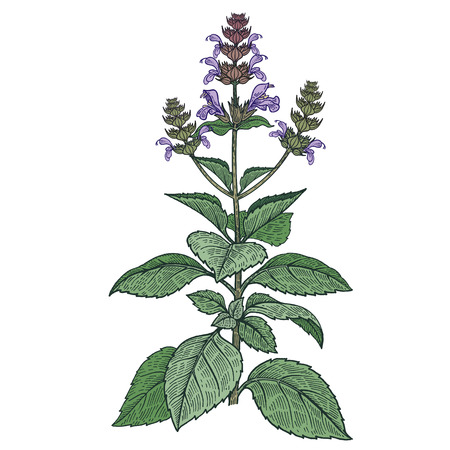 Realistic medical plant Holy Basil. Color Vintage engraving. Vector illustration art. Hand drawn. Alternative medicine series.