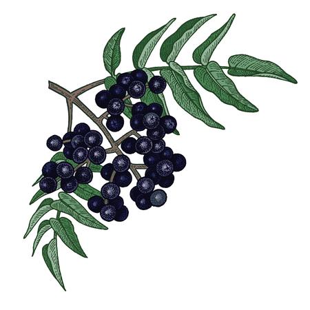 Realistic medical plant Amur cork tree. Vintage engraving. Color Vector illustration art. Hand drawn of branch of tree. Alternative medicine series.