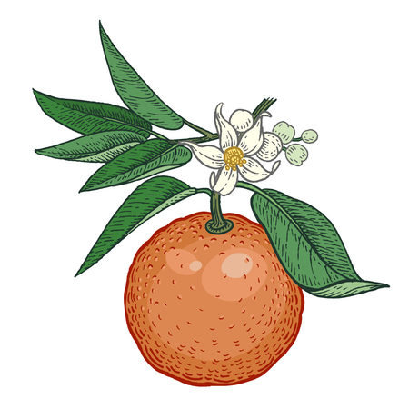 Tree branch with bitter orange fruits and flowers. Color Vector illustration isolated on white background. Vintage engraving style Standard-Bild - 123592664