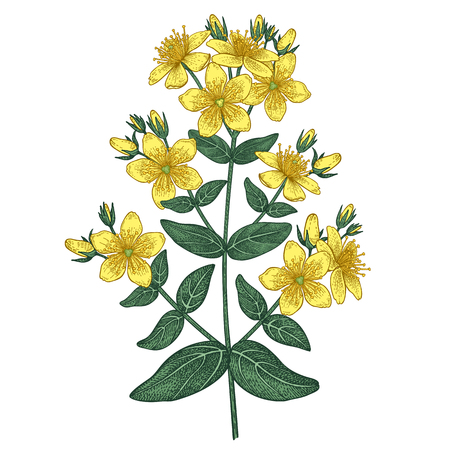 Hypericum perforatum, conocida como hierba de San Juan perforada, hierba de San Juan común y hierba de San Juan, es una planta con flores perteneciente a la familia Hypericaceae.