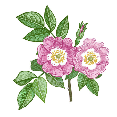 Dog rose flower. Medical herbs briar. Isolate on white background. Vector illustration. Art sketch. Hand drawing object of nature. Vintage color engraving style.