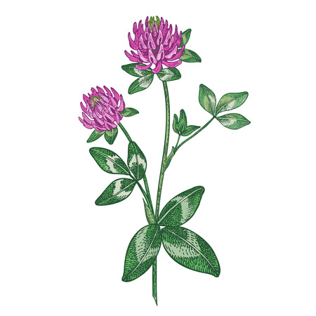 Red clover flower. Color medical herbs and plants Isolated on white background series. Vector illustration. Art sketch. Hand drawing object of nature. Vintage engraving style.