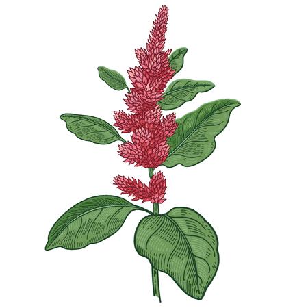 Realistic medical plant amaranth. Color Vintage engraving. Vector illustration art. Hand drawn of flower. Alternative medicine series.