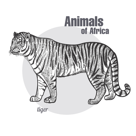 Tiger hand drawing. Animals of Africa series. Vintage engraving style. Vector art illustration. Black graphic isolate on white background. The object of a naturalistic sketch.