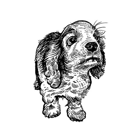 Spaniel. Cute puppy. Home pet isolated on white background. Sketch. Vector illustration art. Realistic portrait of animal in style vintage engraving. Black and white hand drawing of dog. Ilustrace