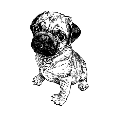 Pug. Cute puppy. Home pet isolated on white background. Sketch. Vector illustration art. Realistic portrait of animal in style vintage engraving. Black and white hand drawing of dog. Illustration