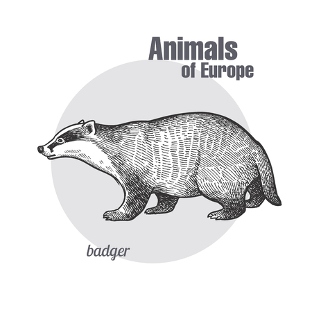 Badger or brock hand drawing. Animals of Europe series. Vintage engraving style. Vector art illustration. Black graphic isolate on white background. The object of naturalistic sketch. Object wildlife  イラスト・ベクター素材