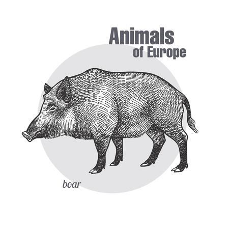 Disegno a mano di cinghiale. Animali d'Europa serie. Stile di incisione vintage. Illustrazione di arte di vettore. Grafico nero isolare su sfondo bianco. L'oggetto di uno schizzo naturalistico.