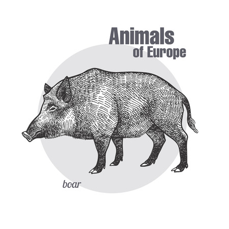 Boar hand drawing. Animals of Europe series. Vintage engraving style. Vector art illustration. Black graphic isolate on white background. The object of a naturalistic sketch.