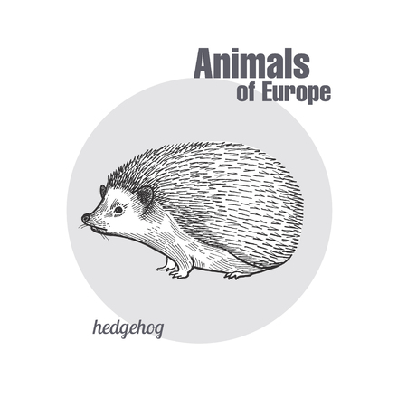 Hedgehog hand drawing. Animals of Europe series. Vintage engraving style. Vector art illustration. Black graphic isolate on white background. The object of a naturalistic sketch. Object of wildlife.