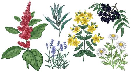 Set of medical herbs. Amaranth, St. John's wort, chamomile, lavender, eucalyptus and Amur cork tree. Colored plants isolated on white background. Alternative medicine series. Vector. Vintage engraving. Illustration