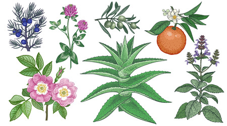 Set medical herbs. Dog rose, clover, juniper, aloe vera, olive branch, bitter orange and holy basil. Colored plants isolated on white background. Alternative medicine series. Vector. Vintage engraving Illustration