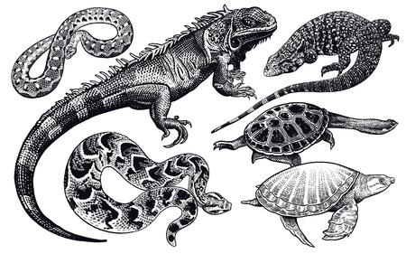 Ensemble de lézards, serpents et tortues. Croquis noir isolé sur fond blanc. Illustration vectorielle. Dessin à la main réaliste. Gravure vintage de la faune. Vecteurs