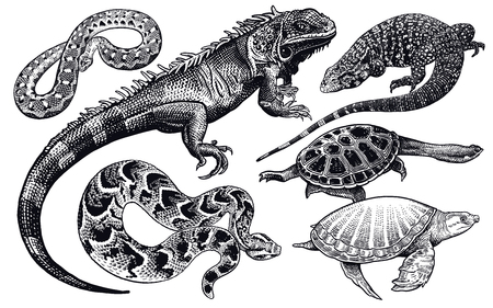 Lizards, snakes and turtles set. Isolated black sketch on white background. Vector illustration. Hand drawing realistic. Vintage engraving of wildlife. Stockfoto - 122899758