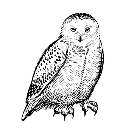 Polar owl. Realistic bird isolated on white background. Vector illustration. Predatory forest bird. Sketch hand drawing. Black and white. Vintage.