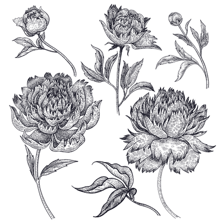 Flowers peonies isolated on white background. Vector illustration vintage engraving style. For floral ornament, congratulations, invitations, wedding design, phone cases, clothing decoration, fashion Vectores