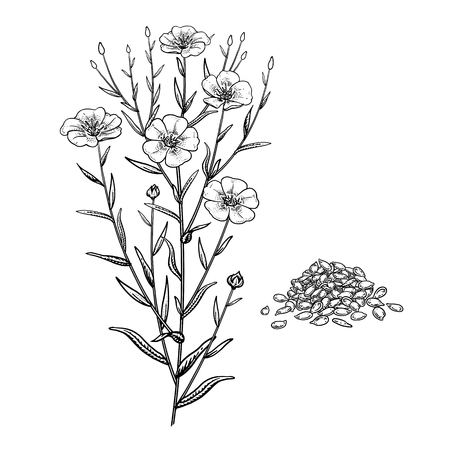 Realistic medicinal plant Flax. Branch, flowers, leaves and seeds. Vintage engraving. Vector illustration. Black and white. Hand drawn of medical herb. Alternative medicine series.