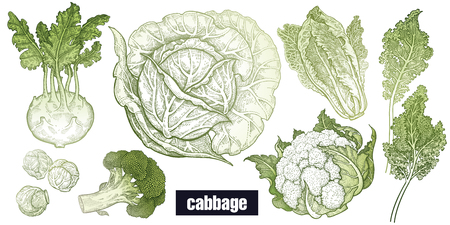 Various cabbage set. White cabbage, broccoli, Brussels sprouts, cauliflower, Chinese cabbage, kohlrabi, leaf cabbage. Hand drawing sketch. Green and white. Vector illustration art. Vintage engraving.