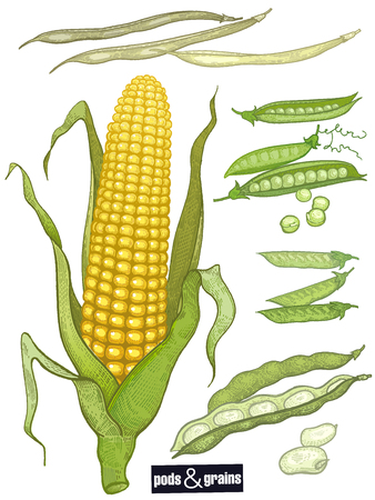 Beans and grain set. Peas, variety of beans, corn ear isolated color print on white background. Vintage engraving. Vector illustration art. Hand drawing of food.