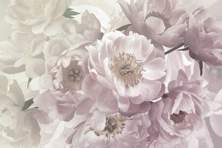 Beautiful delicate garden flowers peonies in bloom. Floristic decoration. Floral background. Baroque style. Pastel colors.