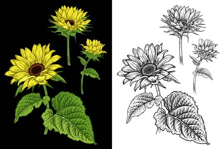 Sunflowers. Isolated autumn flowers and leaves. Flowers colored and black and white. Floral pattern. Decorative vector illustration. Vintage. Hand realistic drawing.