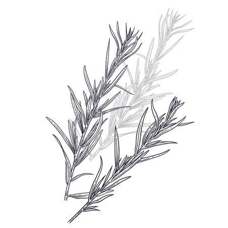 Estragon o dragoncello. Illustrazione delle erbe aromatiche del giardino. Spezia per insaporire il cibo. Immagine nera isolata della pianta su sfondo bianco. Abbozzo di vettore. Vettoriali