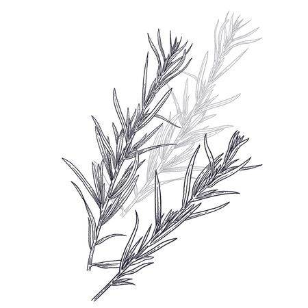 Estragon or tarragon. Illustration of garden fragrant herbs. Spice for flavouring food. Isolated black image of plant on a white background. Vector sketch.