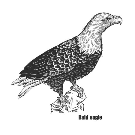 Bald eagle. Predatory bird. Black sketch of animal on a white background. Vintage engraving. Vector illustration. Isolated image. Wild life. Natural motive. American symbol of freedom.  イラスト・ベクター素材