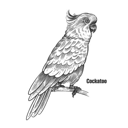 Cockatoo. Tropical exotic bird. Black sketch of animal on a white background. Vintage engraving of parrot. Vector illustration. Isolated image. Wild life. Natural motive.   イラスト・ベクター素材
