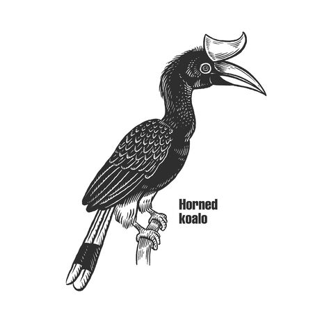 Horned koalo. Tropical exotic bird. Black sketch of animal on a white background. Vintage engraving. Vector illustration. Isolated image of toucan. Wild life. Natural motive.