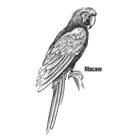 Macaw. Tropical exotic bird. Black sketch of animal on a white background. Vintage engraving. Vector illustration of parrot. Isolated image. Wild life. Natural motive.  イラスト・ベクター素材
