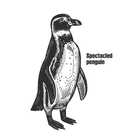African Spectacled penguin. Waterfowl bird. Black sketch of animal on a white background. Vintage engraving. Vector illustration. Isolated image. Wild life. Natural motive.