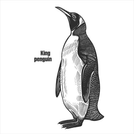 King penguin. Waterfowl exotic bird. Black sketch of animal on a white background. Vintage engraving. Vector illustration. Isolated image. Wild life. Natural motive.